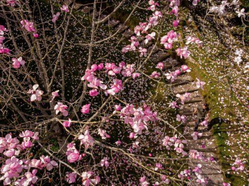 Gardening staff walk past a blooming magnolia tree at the National Trust's Glendurgan Garden in Cornwall (Ben Birchall/PA)