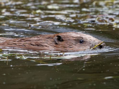 A pair of beavers have been released into a large enclosure in a National Trust site by the South Downs (National Trust Images/Nick Upton/PA)