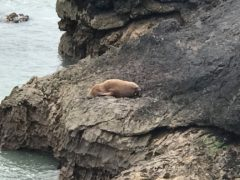 An Arctic walrus has been spotted off the coast of Pembrokeshire in South Wales (RSPCA/PA)