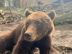 Neo the Eurasian brown bear has fully recovered after his visit from the dentist (Bristol Zoological Society/PA)
