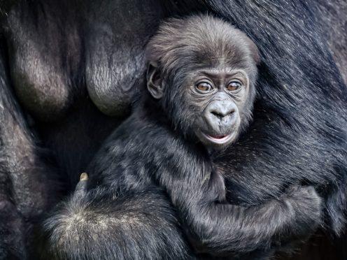 The baby gorilla was born at Bristol Zoo Gardens in December (Ben Birchall/PA)
