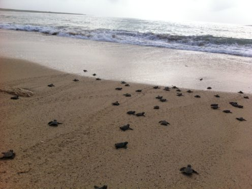Many more females than male turtles are hatching due to global warming (L Clarke and L Hawkes/PA)