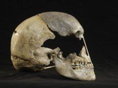 Zlaty kun skull (Martin Frouz/Max Planck Society)