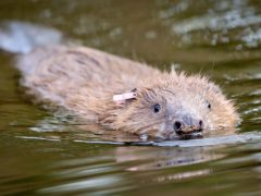 Parties are being urged to back rewilding policies, including rehoming more beavers across Scotland. (Ben Birchall/PA)