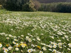 Daisies and dandelions in a garden lawn (Archie Thomas/Plantlife/PA)