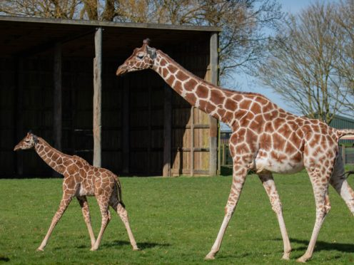 Margaret the giraffe calf takes her first steps outside at Whipsnade Zoo (ZSL Whipsnade Zoo/PA)