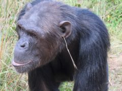 A group of chimpanzees being studied was found to develop a cultural tradition of fashionably wearing a grass blade in one ear (Edwin van Leeuwen/PA)
