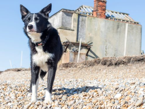 One-year-old border collie Sweep must take a boat to work as a sheepdog at Orford Ness, off the Suffolk coast (National Trust/Richard Scott/PA)