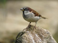 A house sparrow, which topped the list of birds seen again this year (Ray Kennedy/RSPB/PA)