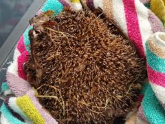 The hedgehog was found outside Brannock High School in North Lanarkshire (Motherwell District Wildlife Protection/PA)