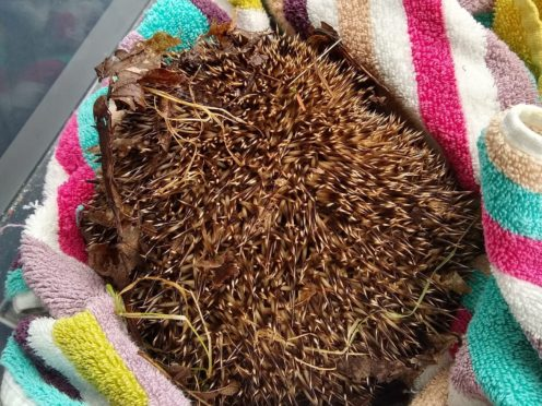 The hedgehog was found injured outside a high school (Motherwell District Wildlife Protection/PA)