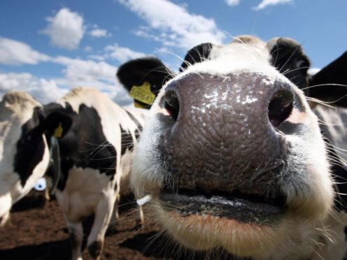 A researcher said there needs to be more genetic diversity in cows and other livestock (David Cheskin/PA)