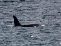 The killer whale named Aquarius was spotted off the west coast of Cornwall (Will McEnery/PA)