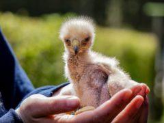 Baby Harris hawk 'Gallo' (Leeds Castle/PA)