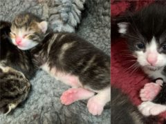 The polydactyl kittens (Cats Protection)