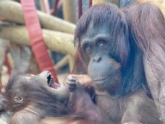 Mali and Tatau have been making themselves at home at the zoo (Colchester Zoo/PA)