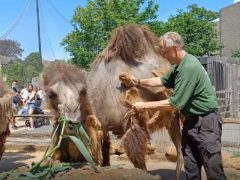 Keeper Mick Tiley gives Bactrian camel Noemie a brush-down at London Zoo on the hottest day of the year so far (ZSL London Zoo/PA)
