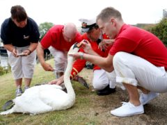 Swans being inspected during Swan Upping (Jonathan Brady/PA)
