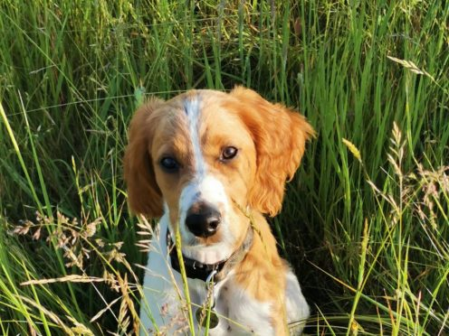 Undated handout issued by My Vets Now showing cocker spaniel puppy Cooper who contracted parvovirus, for which he was successfully treated. Vets have reported a rise of 82% in the potentially fatal parvovirus in dogs in the past year. Issue date: Tuesday June 15, 2021.