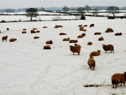 Sheep in a field (Rui Vieira/PA)