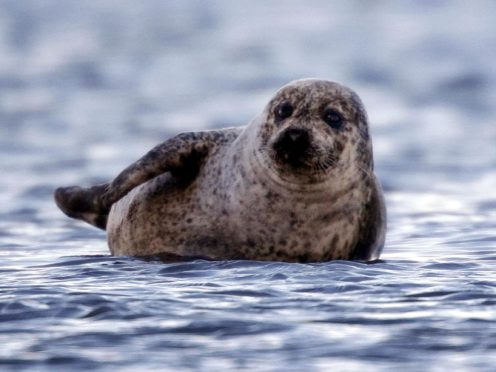 The changes mark a significant shift since the 1990s when Orkney and Shetland were the most important regions in Scotland for harbour seals (Danny Lawson/PA)