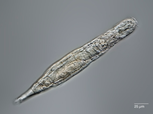Researchers froze and thawed dozens of rotifers in the lab (Michael Plewka/PA)
