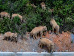 The herd of wild Asian elephants (Hu Chao/Xinhua via AP, File)