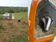 'Stormzy' the badger cub made a swift recovery after being found in a bad state after bad weather in Suffolk (RSPCA)