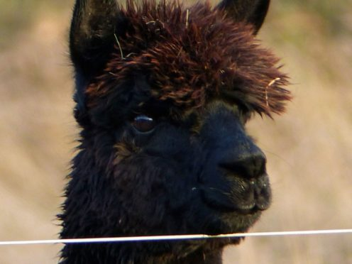Geronimo tested positive twice for bovine tuberculosis (Helen Macdonald/PA)