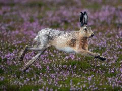 Rural crime, such as hare coursing, can harm the environment (Owen Humphreys/PA)