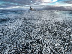 A slick of dead and dying herring covering the surface of the sea off the coast of Norway, which was highly commended in Wildlife Photographer of the Year Oceans: The Bigger Picture Award (Audun Rikardsen/Wildlife Photographer of the Year)