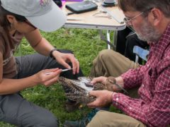Curlew being fitted with a GPS tag (BTO/PA)