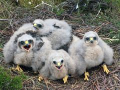2021 has been a good year for rare Hen Harrier chicks in Northumberland (Handout/PA)
