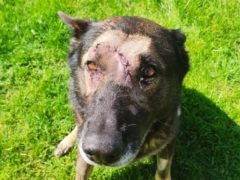 Police dog Kaiser has returned to duty after being stabbed in the head (Metropolitan Police/PA)