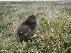 Arctic skua have seen the greatest decline in numbers, the study found (RSPB/PA)