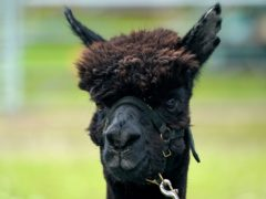 Geronimo the alpaca was euthanised by staff from the Animal and Plant Health Agency on August 31 (Andrew Matthews/PA)