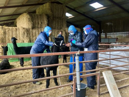 Three people, who arrived with a police escort, surround Geronimo the Alpaca at Shepherds Close Farm in Wooton Under Edge, Gloucestershire, before the animal was taken away on a trailer to an undisclosed location.