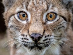 A four-month-old Lynx kitten explores its home in the Bear Wood exhibit at the Wild Place Project in Bristol (Ben Birchall/PA)