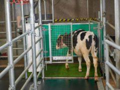 Cows were potty-trained in a bid to reduce ammonia emissions caused by waste (Leibnitz-Institut fur Nutztierbiologie Dummerstorf/PA)