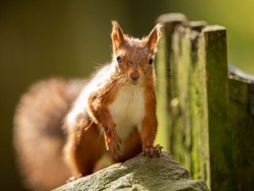 The UK has only 53% of its biodiversity left, with species such as the red squirrel in decline (Danny Lawson/PA)