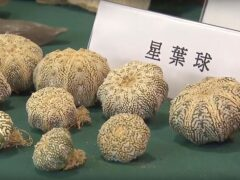 Endangered plants seized by Hong Kong Customs in an anti-smuggling operation (TVB via AP Video)