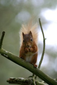 T24_Red Squirrel_02_no_Photo Darin Smith