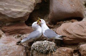 Kittiwake pair displaying at their nest.