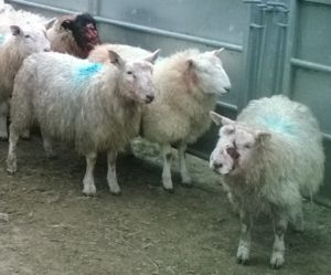 Sheep attacked by dogs in a field near Inveraray
