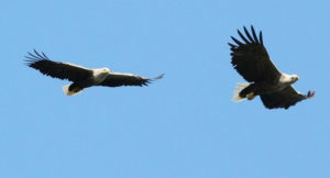 The pair of white-teailed eagles are nesting close to Craignure Golf Club on Mull.