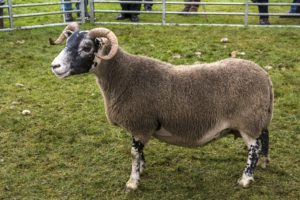 Champion of Champions - Colin Kennedy Trophy - Messrs McLarty Glentarken (Blackface ewe
