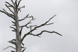 Another of the burned trees. Photograph: John Macpherson/WTML. NO-F16-fire-lichen-and-dead-tree.jpg