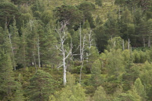Two of the dead pines destroyed during the war. Photograph: John Macpherson/WTML. NO-F16-fire-lichen-and-dead-trees.jpg