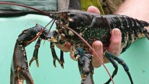 This impressive lobster was among the loch's inhabitants that made an appearance. Picture: Nic Goddard. NO F31 lobster