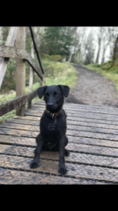 Breagha the Patterdale needed emergency surgery in Glasgow. NO F31 Bethany dog